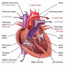 Image of the physical heart